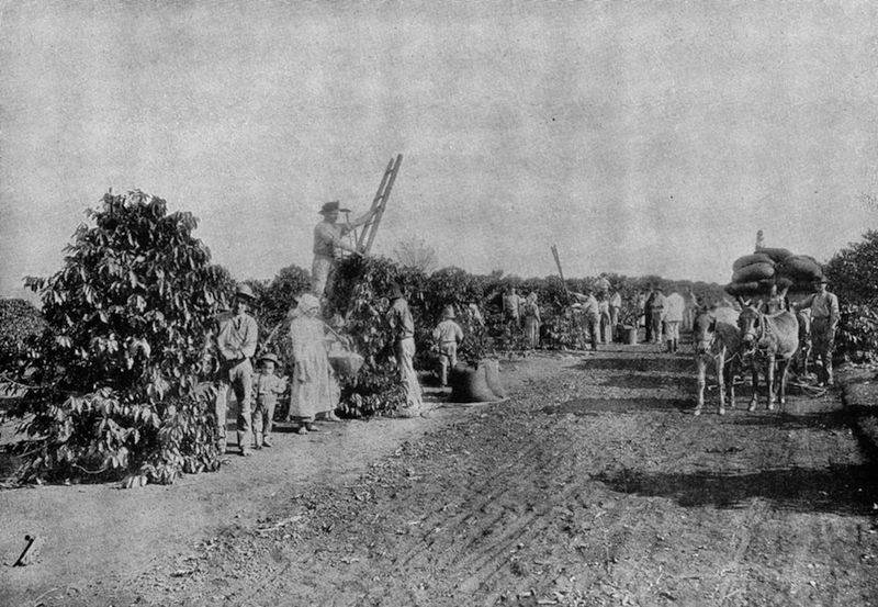 Coffee plantation outside São Paulo at the turn of the century